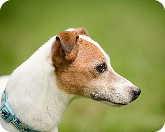 Jack Russell Terrier Mix Dog for adoption in Wilmington, Delaware - Stef