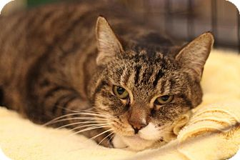 Domestic Shorthair Cat for adoption in Sacramento, California - Holly