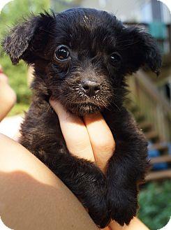 Dachshund/Spaniel (Unknown Type) Mix Puppy for adoption in Newark, Delaware - Joanna