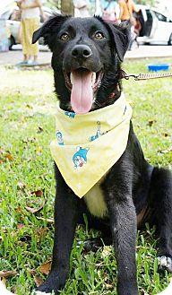 Labrador Retriever/Border Collie Mix Puppy for adoption in Castro Valley, California - Alfredo