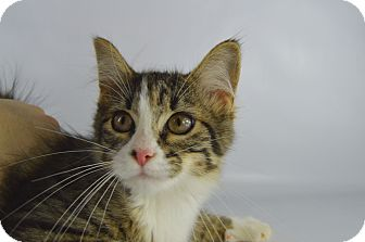 Domestic Mediumhair Kitten for adoption in LAFAYETTE, Louisiana - MINNIE