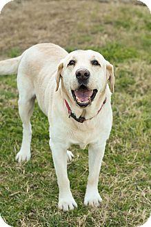 Labrador Retriever Mix Dog for adoption in Pilot Point, Texas - BOOMER