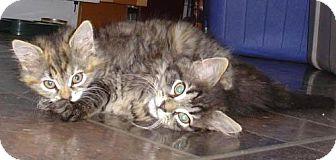 Domestic Mediumhair Kitten for adoption in Wakefield, Massachusetts - Beatrix