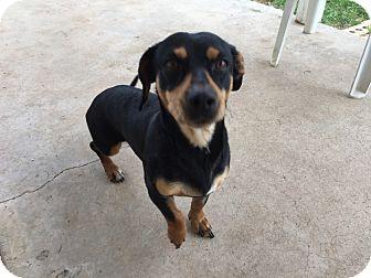 Dachshund/Terrier (Unknown Type, Medium) Mix Dog for adoption in Lubbock, Texas - REX