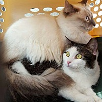 Himalayan Cat for adoption in Chicago, Illinois - Dunkin and Dustee