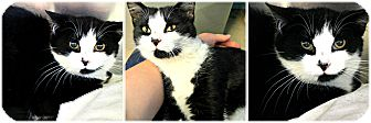 Domestic Shorthair Cat for adoption in Forked River, New Jersey - Jiminy