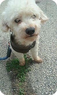 Maltese/Poodle (Miniature) Mix Dog for adoption in Joliet, Illinois - Jonesy