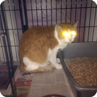 Manx Cat for adoption in North Kingstown, Rhode Island - Eric