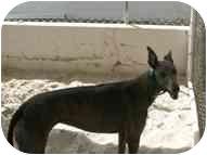 Greyhound Dog for adoption in St Petersburg, Florida - Trix