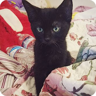 Burmese Kitten for adoption in Cerritos, California - Bonnie