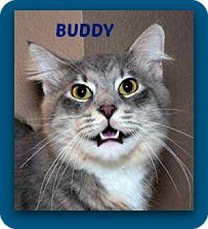 Domestic Mediumhair Cat for adoption in Baton Rouge, Louisiana - Buddy