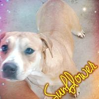 Adopt A Pet :: Sunflower - Odessa, TX