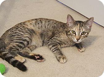 Domestic Shorthair Cat for adoption in Sneads Ferry, North Carolina - Annabeth