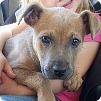 Adopt A Pet :: Cutie - Gainesville, FL