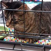 Adopt A Pet :: Sawyer - Sedalia, MO
