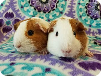 Guinea Pig for adoption in Grand Rapids, Michigan - Lucy & Gingi