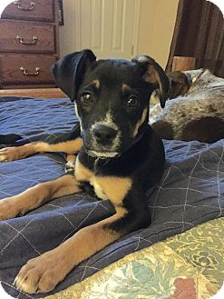 Rottweiler/Hound (Unknown Type) Mix Puppy for adoption in Sagaponack, New York - Regina