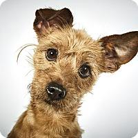 Adopt A Pet :: Ollie - New York, NY