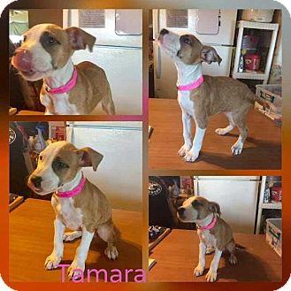 Boxer/Labrador Retriever Mix Puppy for adoption in Mesa, Arizona - TAMARA