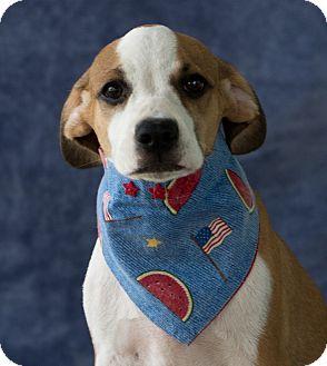 Labrador Retriever Mix Puppy for adoption in Calgary, Alberta - Pinta
