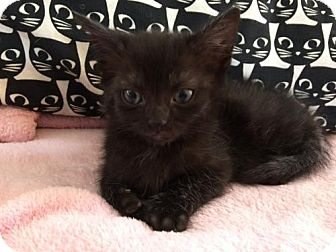 Domestic Shorthair Kitten for adoption in Baltimore, Maryland - .Amuse Bouche