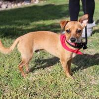 Adopt A Pet :: Morgan - Rio Rancho, NM
