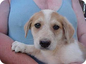 Golden Retriever/Great Pyrenees Mix Puppy for adoption in Anderson, South Carolina - Tango