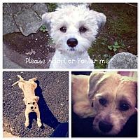 Adopt A Pet :: Lola - Whitestone, NY
