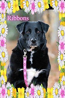 Labrador Retriever/Border Collie Mix Dog for adoption in New Castle, Delaware - Ribbons
