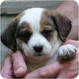Beagle/Jack Russell Terrier Mix Puppy for adoption in Brodheadsville, Pennsylvania - Noah