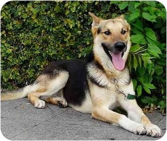 German Shepherd Dog Mix Dog for adoption in Los Angeles, California - Maximilliam von Magdeburg