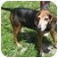 Photo 2 - Coonhound Dog for adoption in Boca Raton, Florida - Scooby