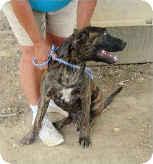Boxer Mix Dog for adoption in Fairmount, Georgia - Marble