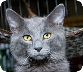 Domestic Mediumhair Cat for adoption in Sacramento, California - Trey