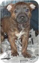 Terrier (Unknown Type, Medium) Mix Puppy for adoption in Gaffney, South Carolina - Linda