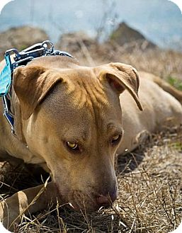 American Pit Bull Terrier Dog for adoption in Berkeley, California - Jeannie