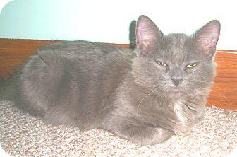 Domestic Longhair Kitten for adoption in Milwaukee, Wisconsin - Hayden - in foster care