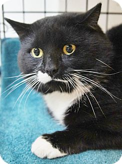 Domestic Shorthair Cat for adoption in Medford, Massachusetts - Chevy