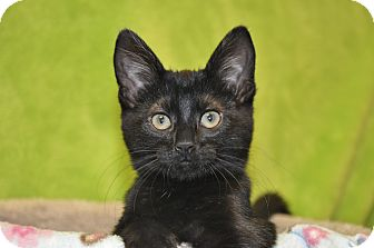 Domestic Shorthair Kitten for adoption in Foothill Ranch, California - Cassie
