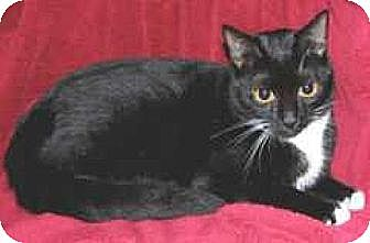 Domestic Shorthair Cat for adoption in Miami, Florida - Tuxianna