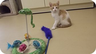 Domestic Shorthair Kitten for adoption in Marshall, Texas - Cammie