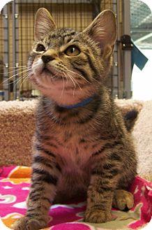 Domestic Shorthair Kitten for adoption in Grants Pass, Oregon - Mike