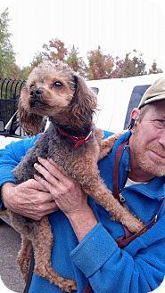 Miniature Poodle Mix Dog for adoption in Hollis, Maine - Poe**Adoption Pending**