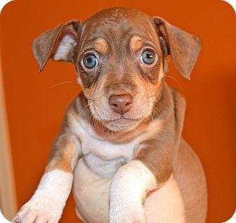 Dachshund/Chihuahua Mix Puppy for adoption in Homewood, Alabama - Bruiser