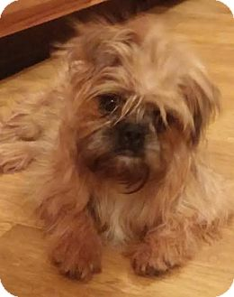 Brussels Griffon Puppy for adoption in Urbana, Ohio - Paisley