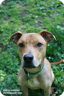 Rhodesian Ridgeback Mix Puppy for adoption in Nashville, Tennessee - Axle
