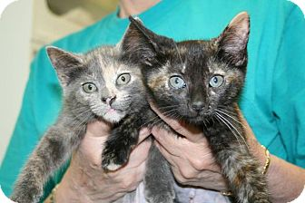 Domestic Shorthair Kitten for adoption in Jackson, New Jersey - Stars and Liberty