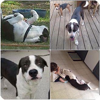 Mastiff/Labrador Retriever Mix Dog for adoption in Rochester/Buffalo, New York - Moe - Courtesy Post