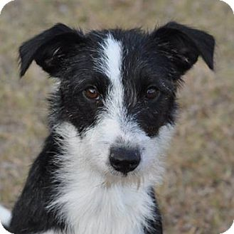 Wire Fox Terrier Border Collie Mix | www.pixshark.com ...
