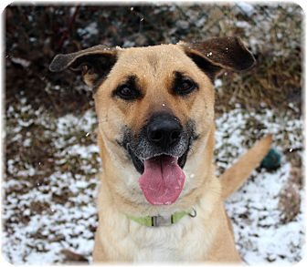 Labrador Retriever/Collie Mix Dog for adoption in Welland, Ontario - Layla